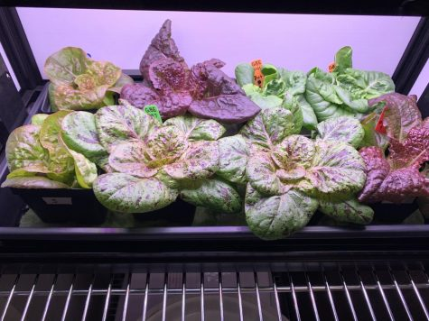 The lettuce right before harvest